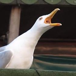 Gabbiano che urla
